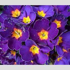 Purple And Yellow Flowers  Vulnicura Love Pinterest