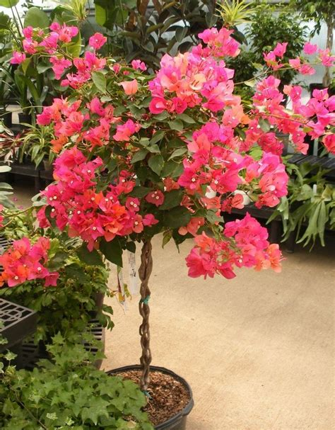 25 trending bougainvillea tree ideas on mediterranean houses style entry