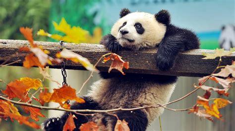 panda bear wallpaper wallpapertag