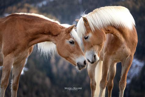 pferde  der natur monika bogner photography