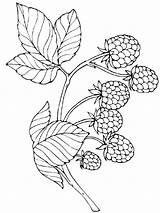 Coloring Berries Raspberries Printable Template sketch template