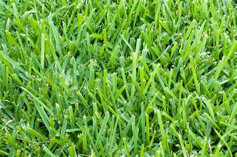 Care For Your St. Augustine Grass