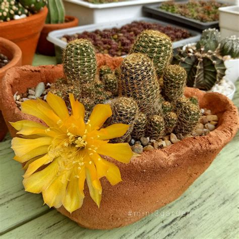 #lobivia #cactusflower #ดอกแคคตัส #โลบิเวีย ในปี 2021 ...