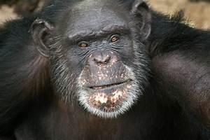 Marcel Duchimp? Tongue-painting ape wins $10,000 in art ...