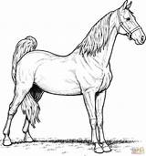 Coloring Horse Pages Mare Saddlebred American Main Supercoloring Printable Paper Dot Colorings Skip Drawing sketch template