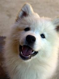 Siberian Samoyed Puppy