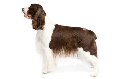 english springer spaniel pictures american kennel club