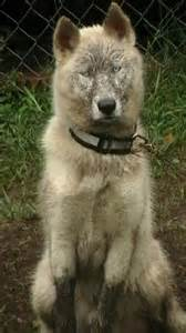 White German Shepherd Husky Wolf Mix
