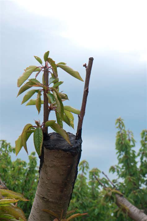 alte kirschbäume schneiden pr 228 ferenz kirschbaum radikal schneiden tz43