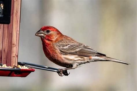 common backyard birds  california learn bird watching