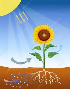 Photosynthesis - Stock Image C011  9009