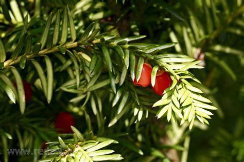 Parastā īve - Parastā īve (Taxus baccata) - redzet.eu