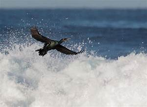 Double-crested Cormorant, flying in surf photo - Tom Grey ...