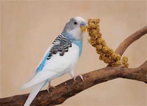 basics of parakeet care lovetoknow