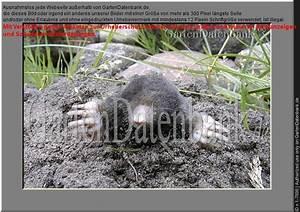 Garten Schädlinge Bekämpfen : bild maulwurf bek mpfen was tun gegen maulw rfe im ~ Michelbontemps.com Haus und Dekorationen