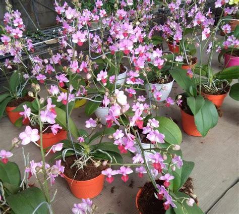 jual tanaman hias bunga anggrek bulan taiwan lapak
