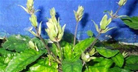khasiat daun gempur batu  keseh atan khasiat