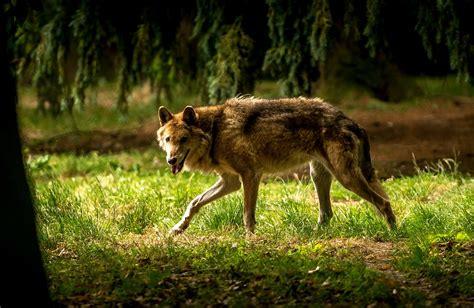 la norvegia vuole uccidere  lupi su  lifegate