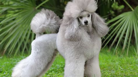 wallpaper poodle grey grass cute animals animals