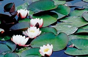 The Life of a Lily Pad | Britannica Blog