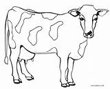 Cow Coloring Printable Cool2bkids sketch template