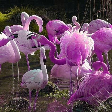 how do flamingos get their pink color 33 best images about pink birds on beautiful