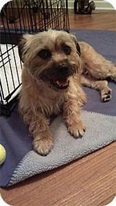 Kerri | Adopted Dog | Plainfield, IL | Silky Terrier/Cairn ...