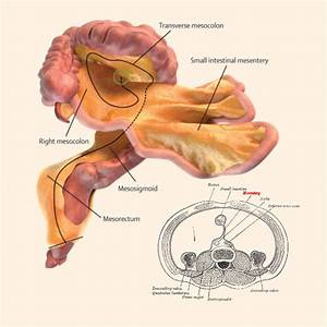 Mesentery  Researchers Reclassify Part Of Digestive System As Organ