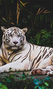 +20 Animal wallpaper | Tiger wallpaper iphone, Tiger ...