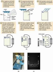 A  A Diagram Of The Process Of Agarose Gel Electrophoresis
