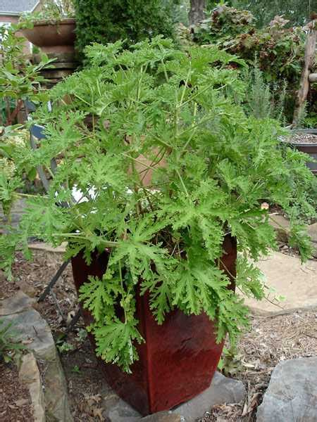 Citronella L Home Depot by Mosquito Plants The Home Depot Community
