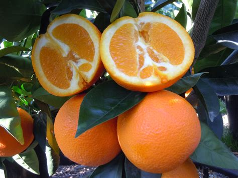 orange trees tree washington year citrus dwarf fourwindsgrowers fruit semi sweet