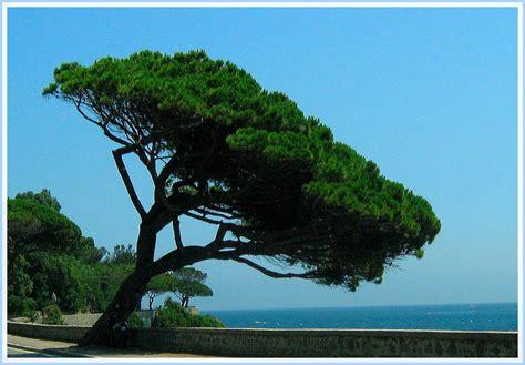 arbre penche photo  image arbres lou nature