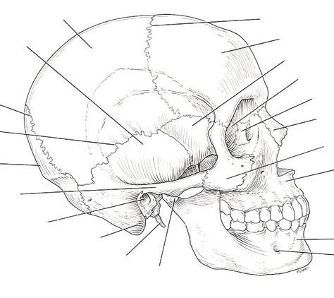 skull bones labeling worksheet free printables worksheet