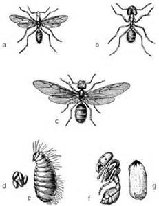 Ameisen Mit Flügel : formicidae kompaktlexikon der biologie ~ Buech-reservation.com Haus und Dekorationen