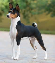 basenji 5 pros very loyal and calm doesn t shed very