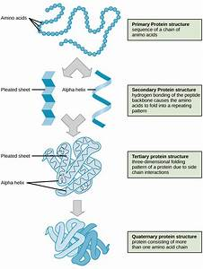 1  The Four Levels Of Protein Structure   Source  Openstax