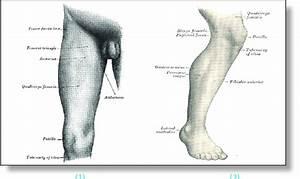 Surface Anatomy Of Right Leg