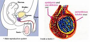 The Male Reproductive System  Function  U0026 Parts