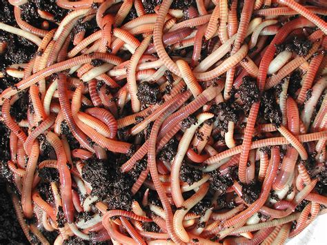 Worms for our waste water treatment ? Sustainable Small Houses