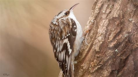 Brown creeper - song / call / voice / sound.