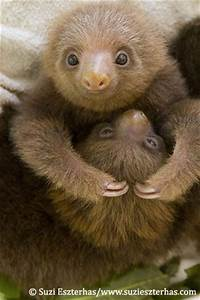 Baby sloths | Too Cute | Pinterest
