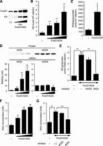 Foxo1 Links Hyperglycemia To Ldl Oxidation And Endothelial Nitric Oxide Synthase Dysfunction In