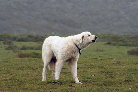 Akbash Dog - All Big Dog Breeds