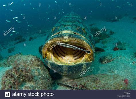 grouper itajara goliath underwater epinephelus alamy offshore photographed endangered florida palm season beach