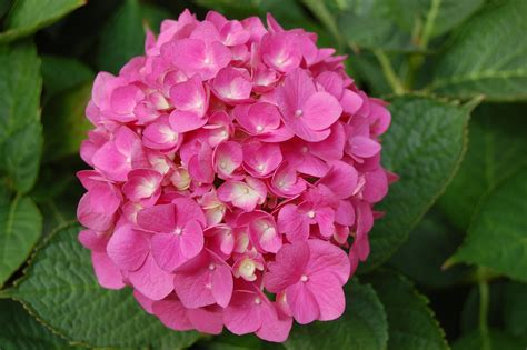 what is a hydrangea flower hortensia landscape architect s pages