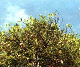 Production, handling and processing of nutmeg and mace and ...