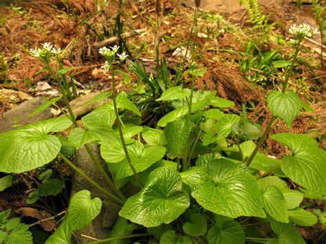 in plant wasabi wikipedia