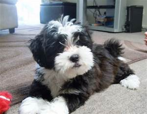 33 best images about Yorkie ️ Poo on Pinterest | Puppys ...