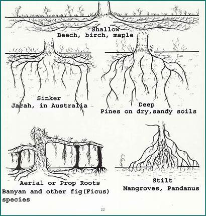 Woody Roots Different Examples Types Trees Growth
